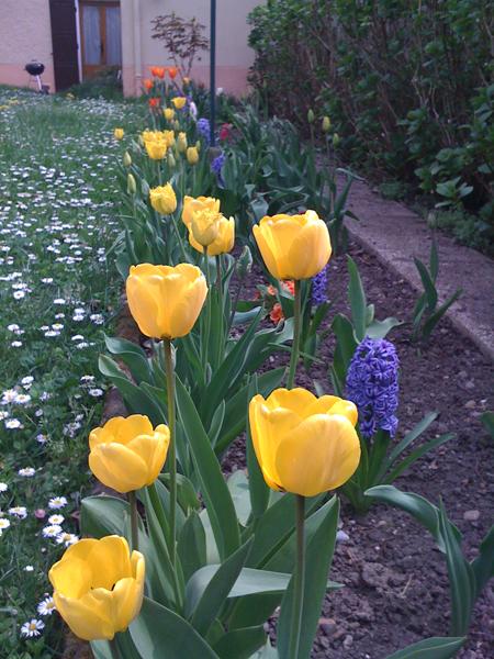 pers-tulipes.jpg